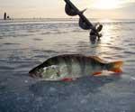 Ловля окуня и судака по льду