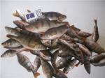 Чудесная рыбалка,после морозных дней