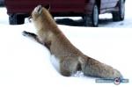 В Восточном Оренбуржье было зафиксировано три случая бешенства лис.