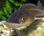В Оренбургской области идет планомерная работа по восстановлению ценных видов рыб